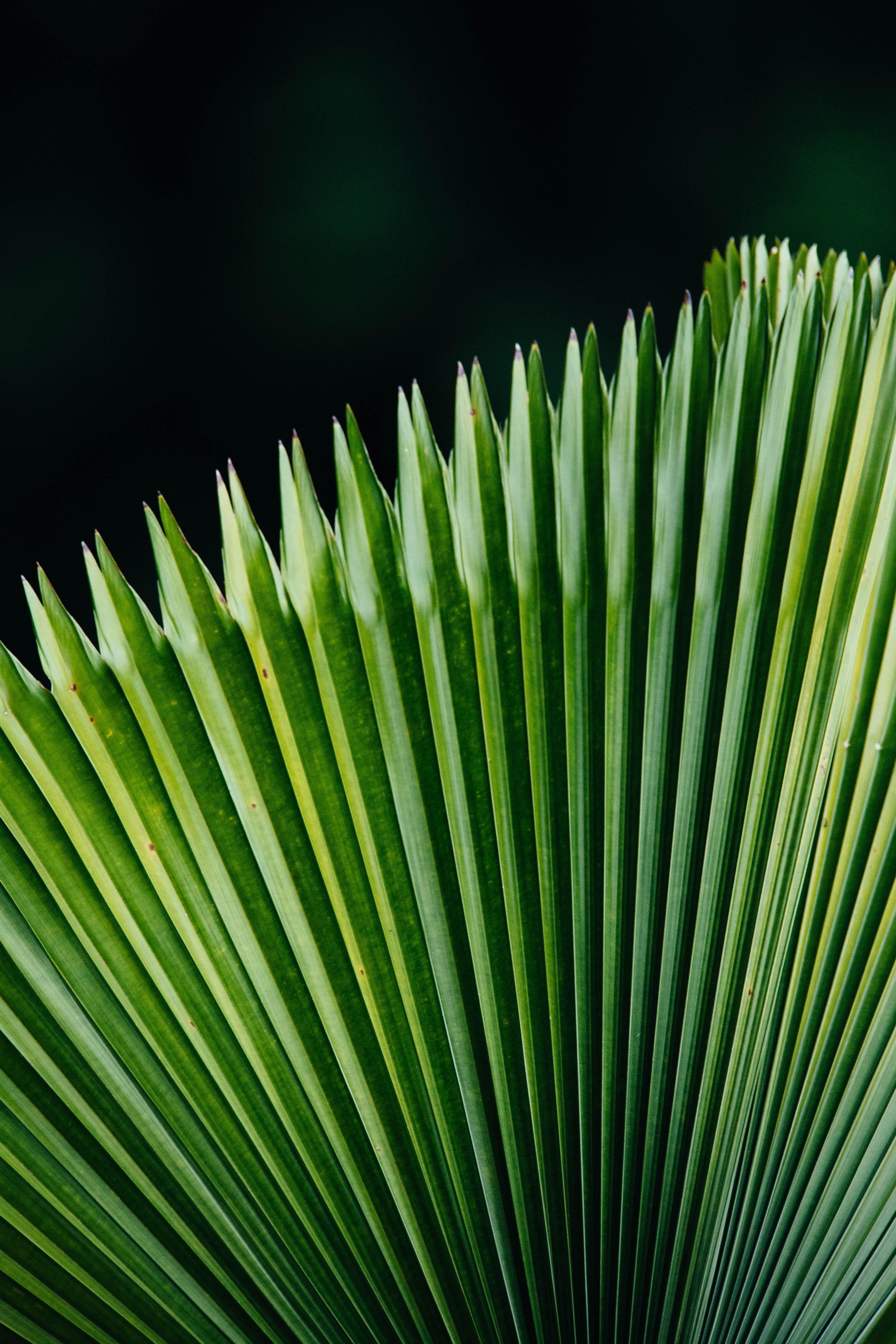 macro photography of Saribus rotundifolius plant