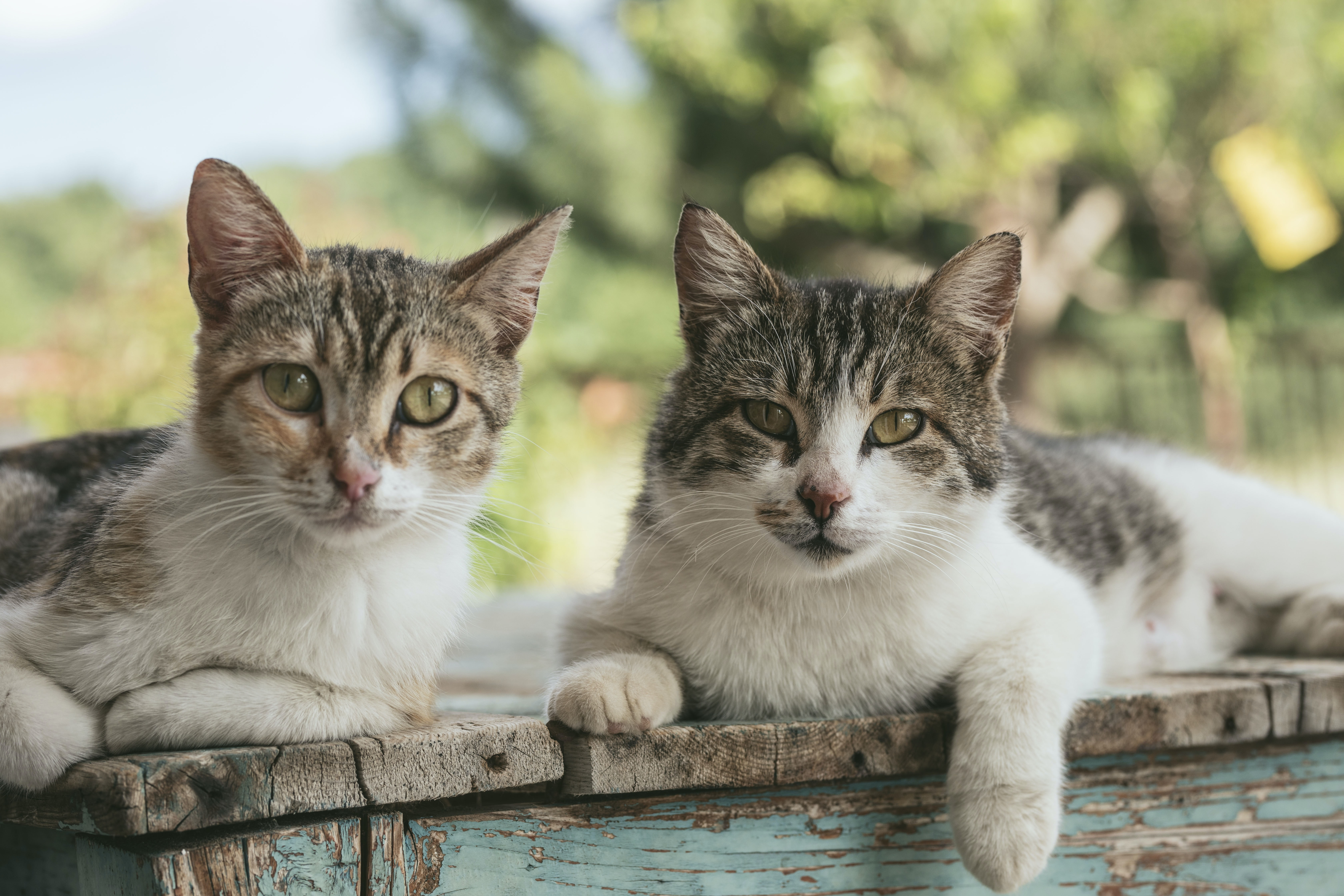 two brown tabby cats on wood planks