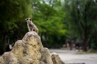 shallow focus photography of meercat standing on rock
