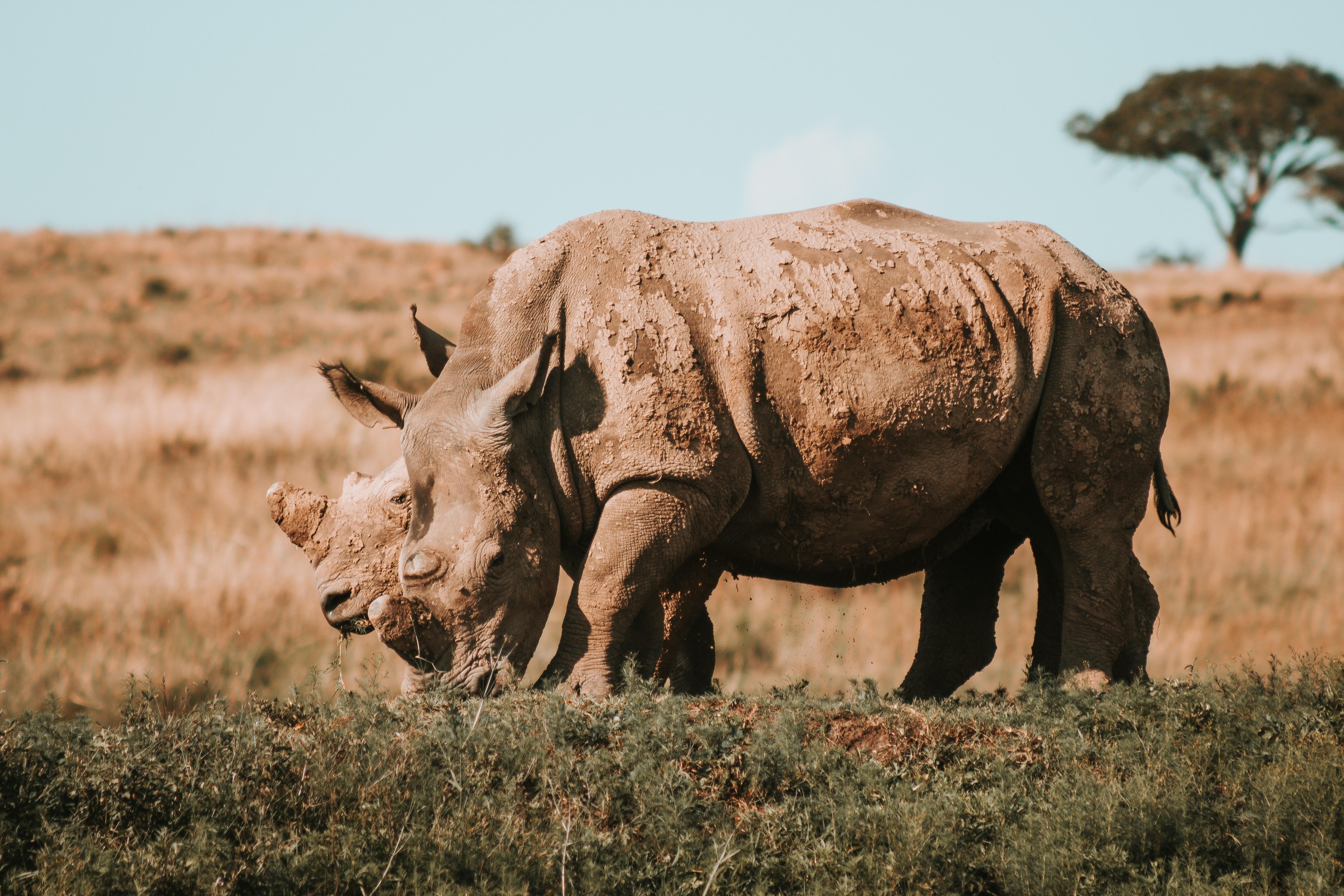 rhinoceros grazing