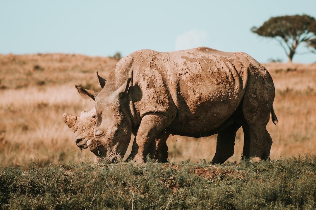 Rhino's in Africa grazing