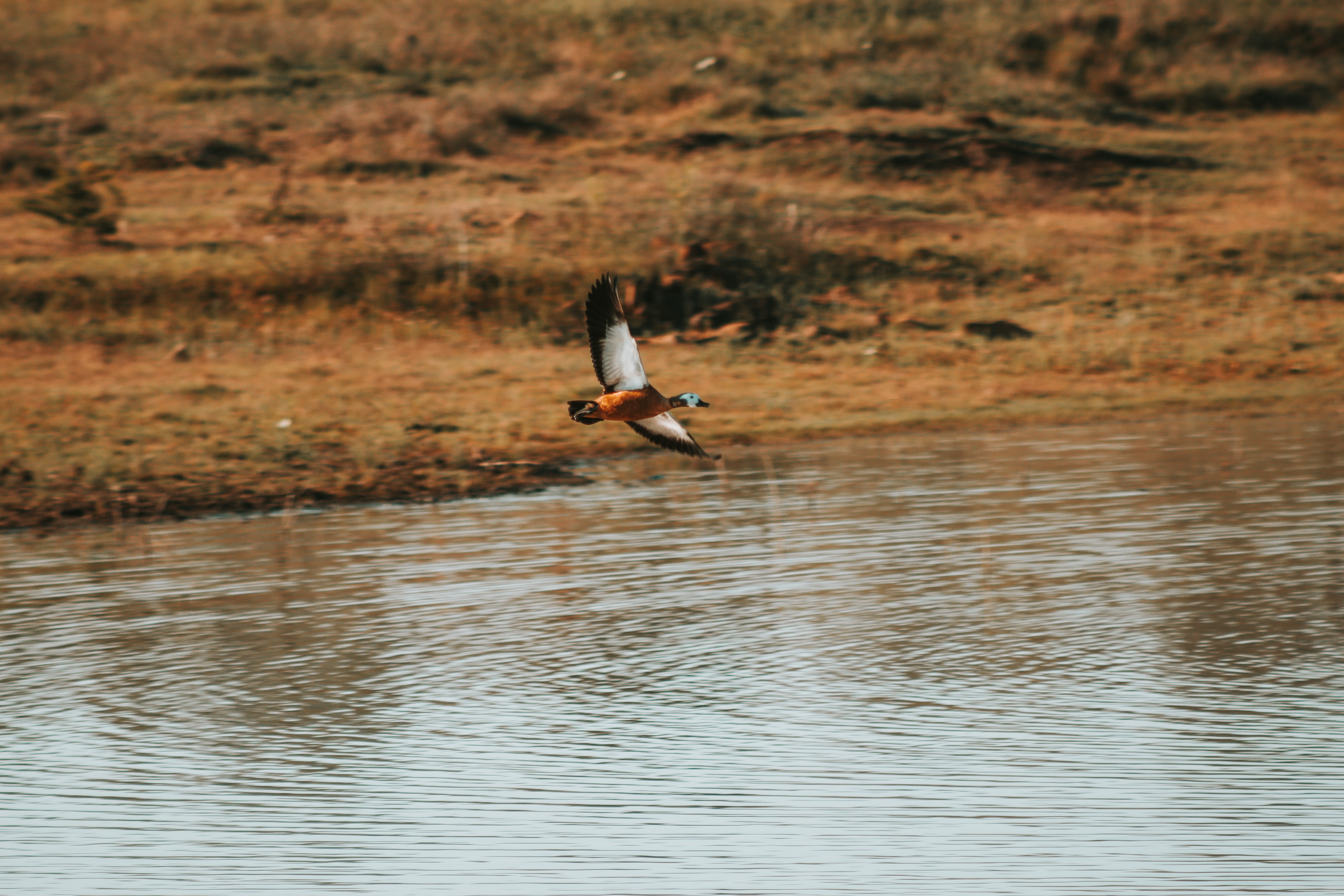 flying mallard duck above body of water during daytime