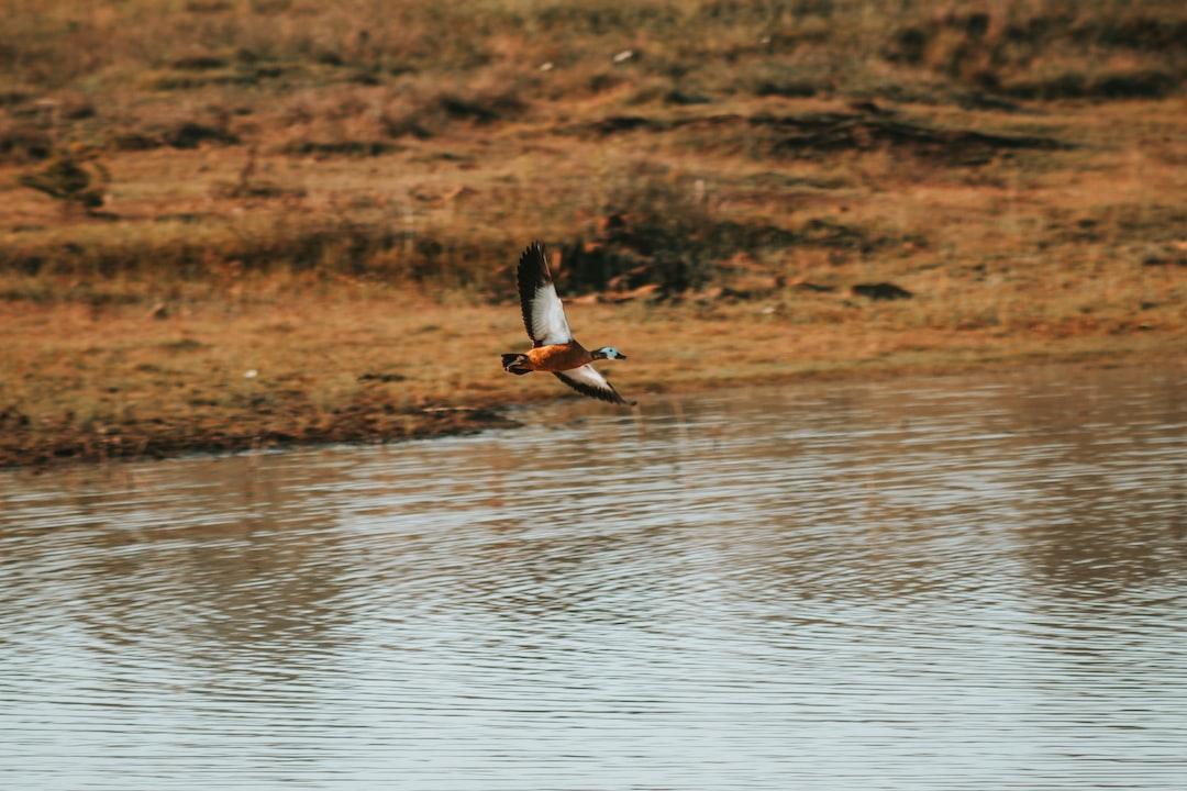 A duck flying across water