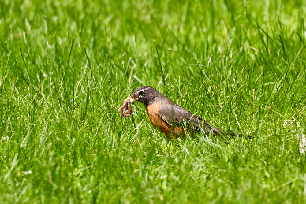 brown and black bird perching worms on grass