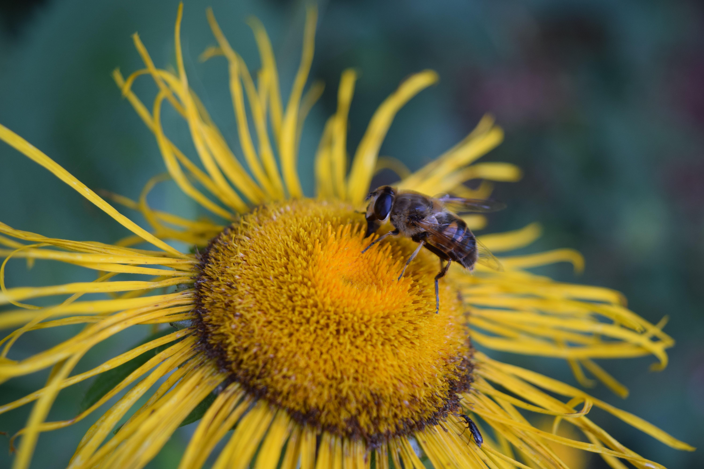 black honey bee on yellow sunflower at daytime