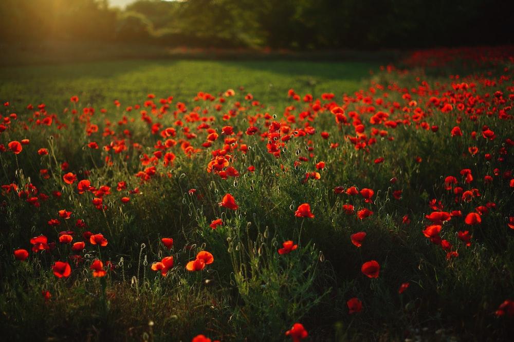 red petaled flower garden