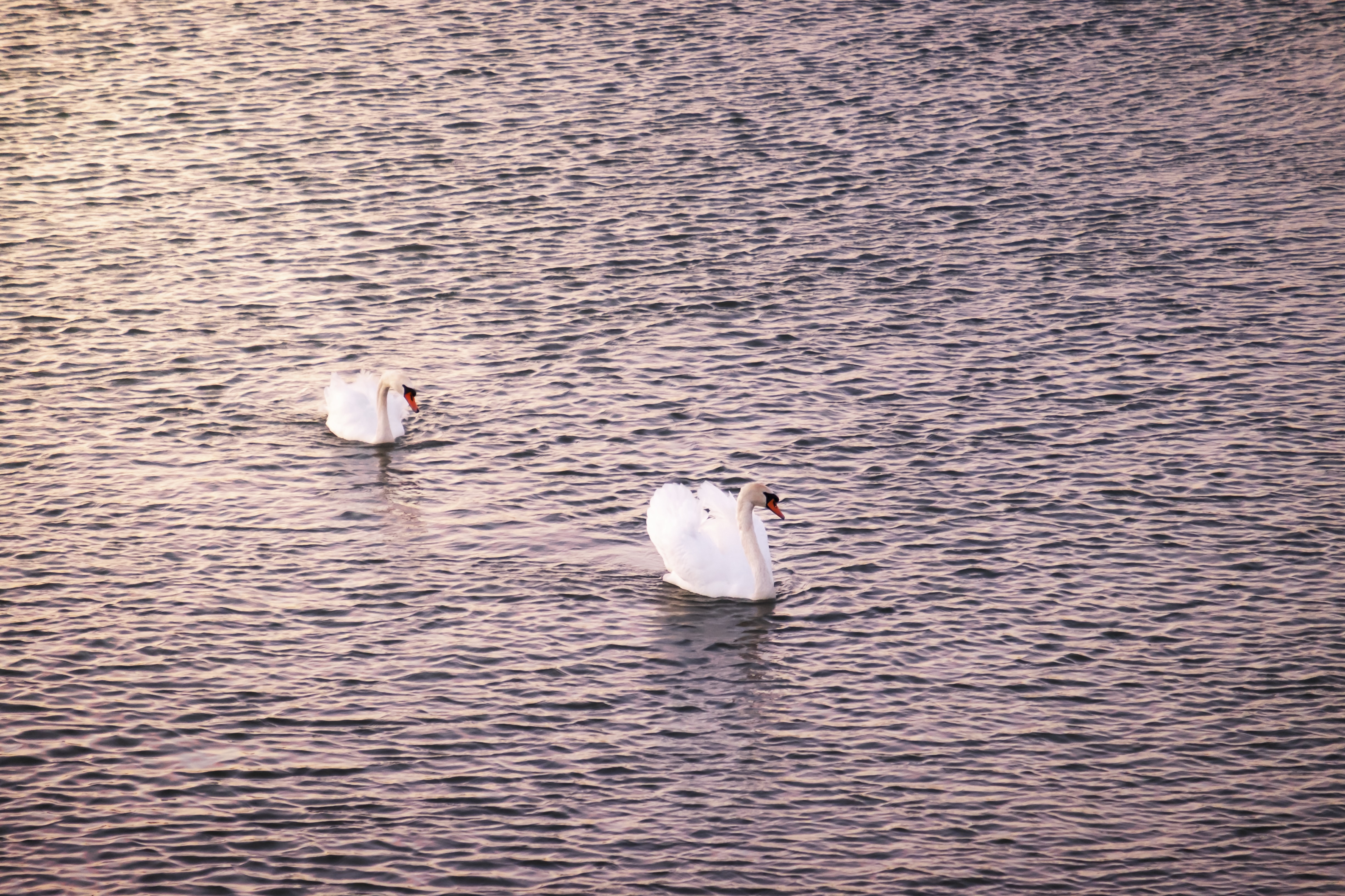 two mute swans crossing water