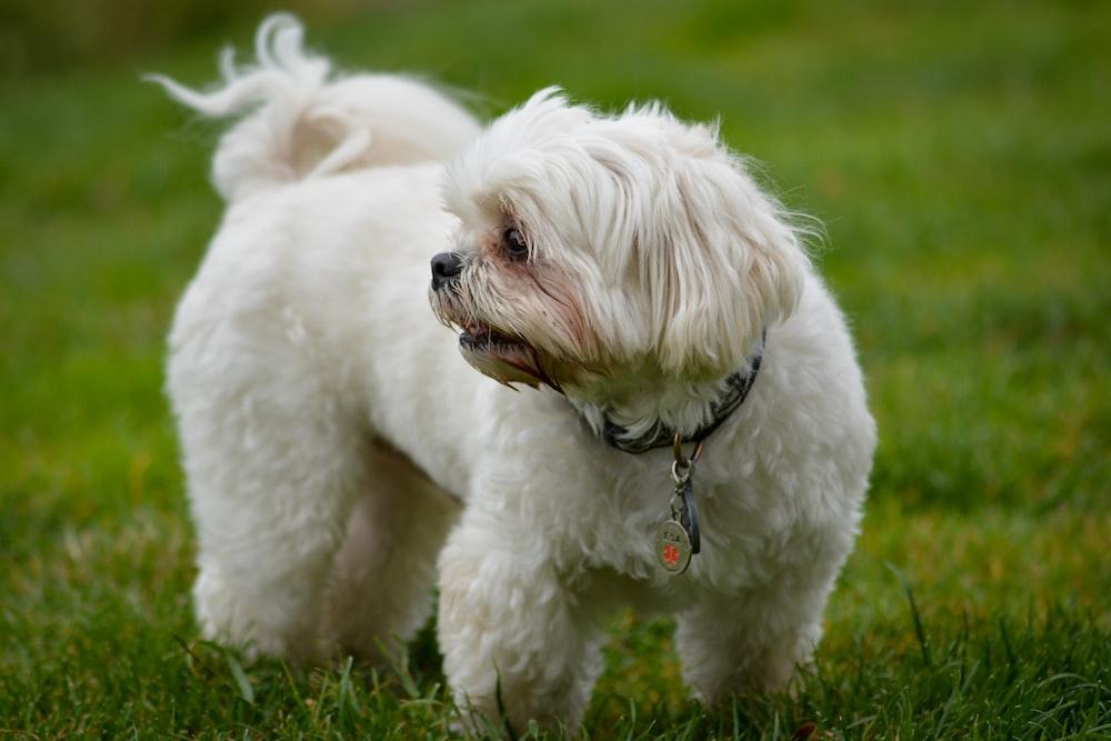 white puppy standing on green grass field