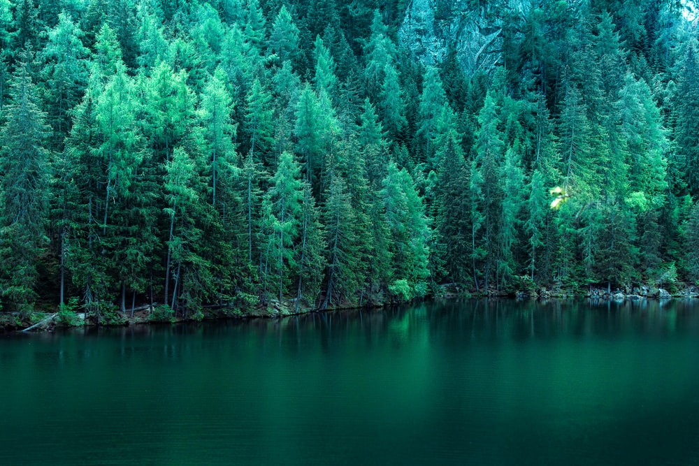 body of water surround by pine trees