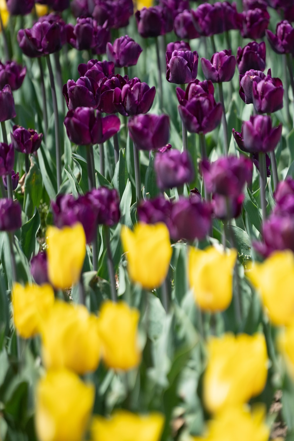 bed of purple and yellow tulip flowers