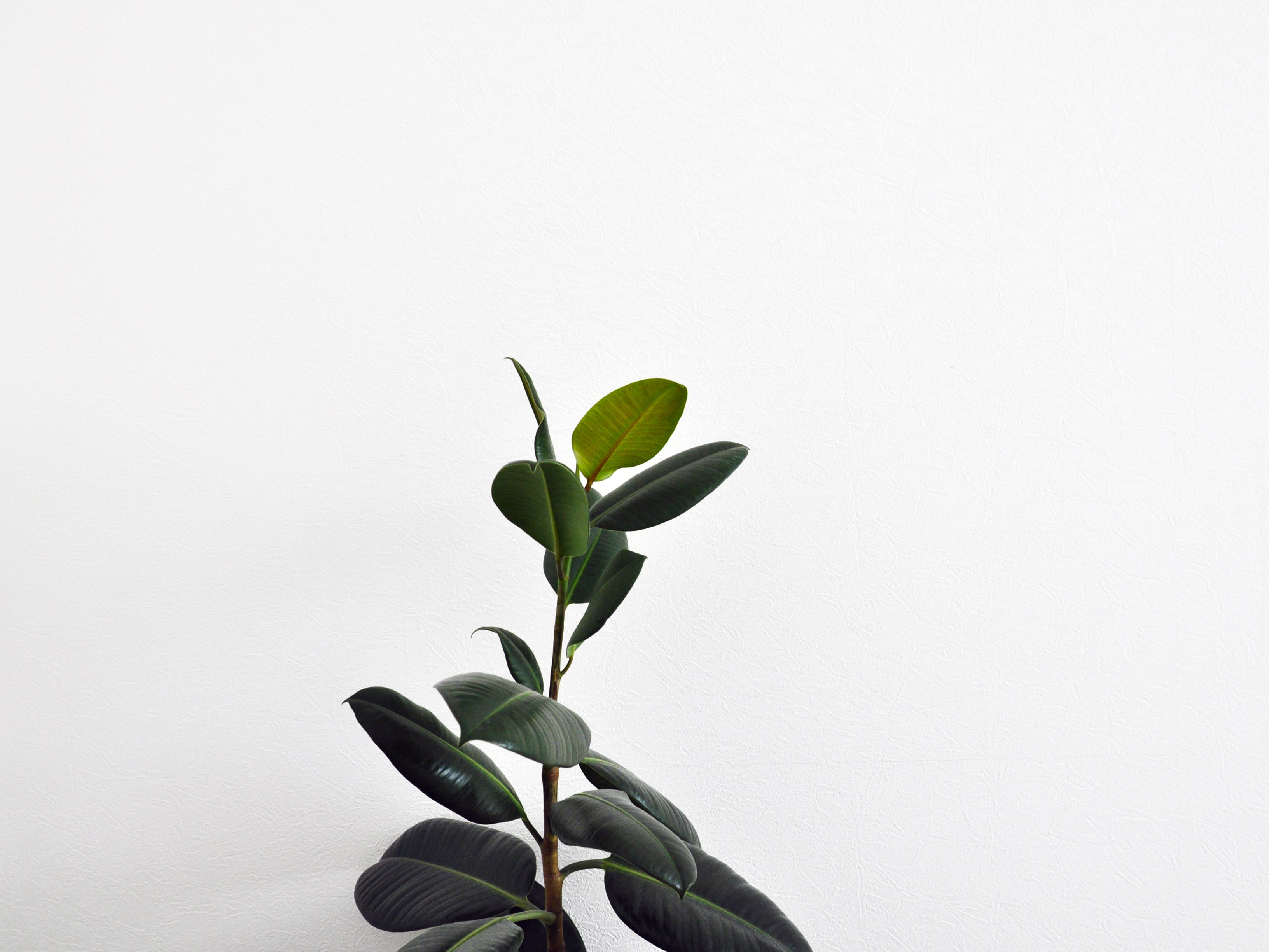 green rubber plant with white background