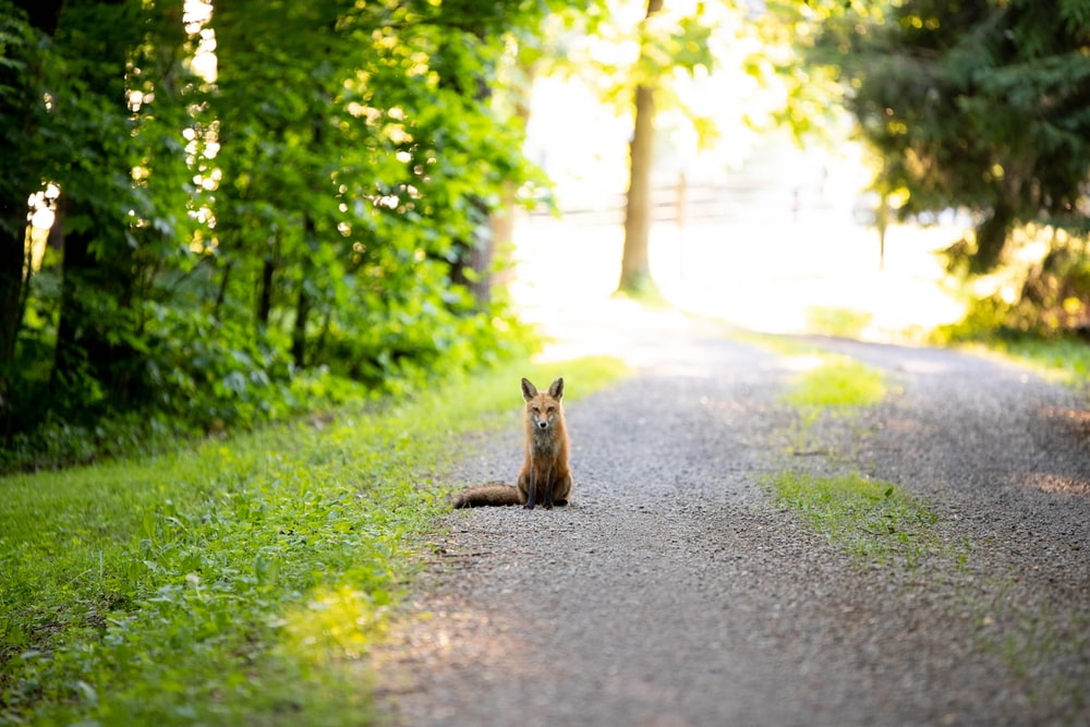 red fox on on the middle of road