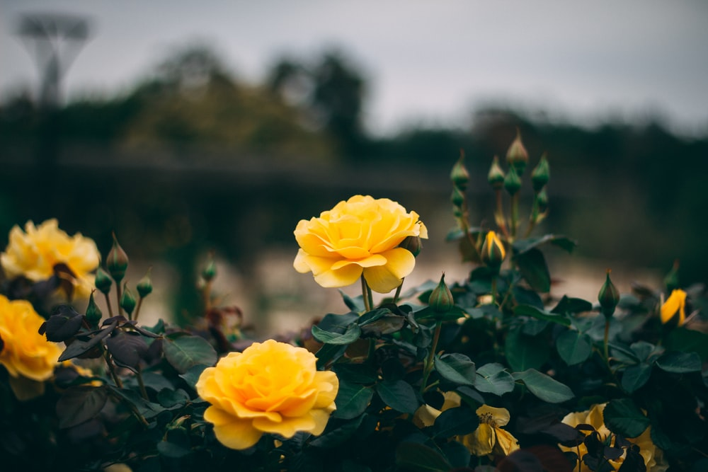Yellow rose pictures download free images on unsplash yellow petaled flowers mightylinksfo