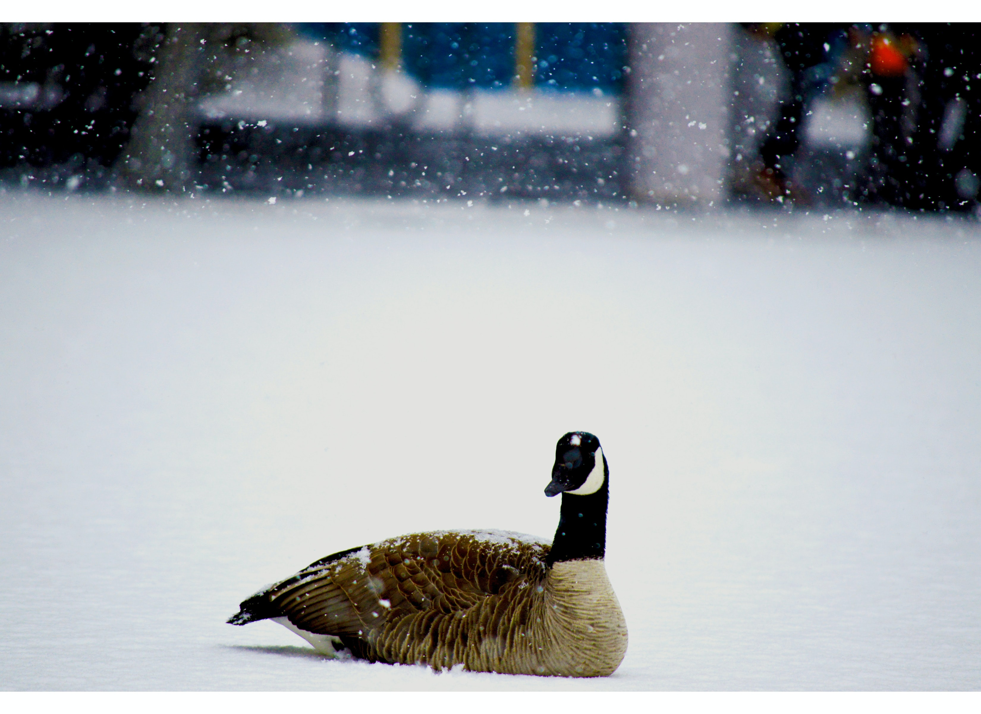 Canadian goose on snow covered ground