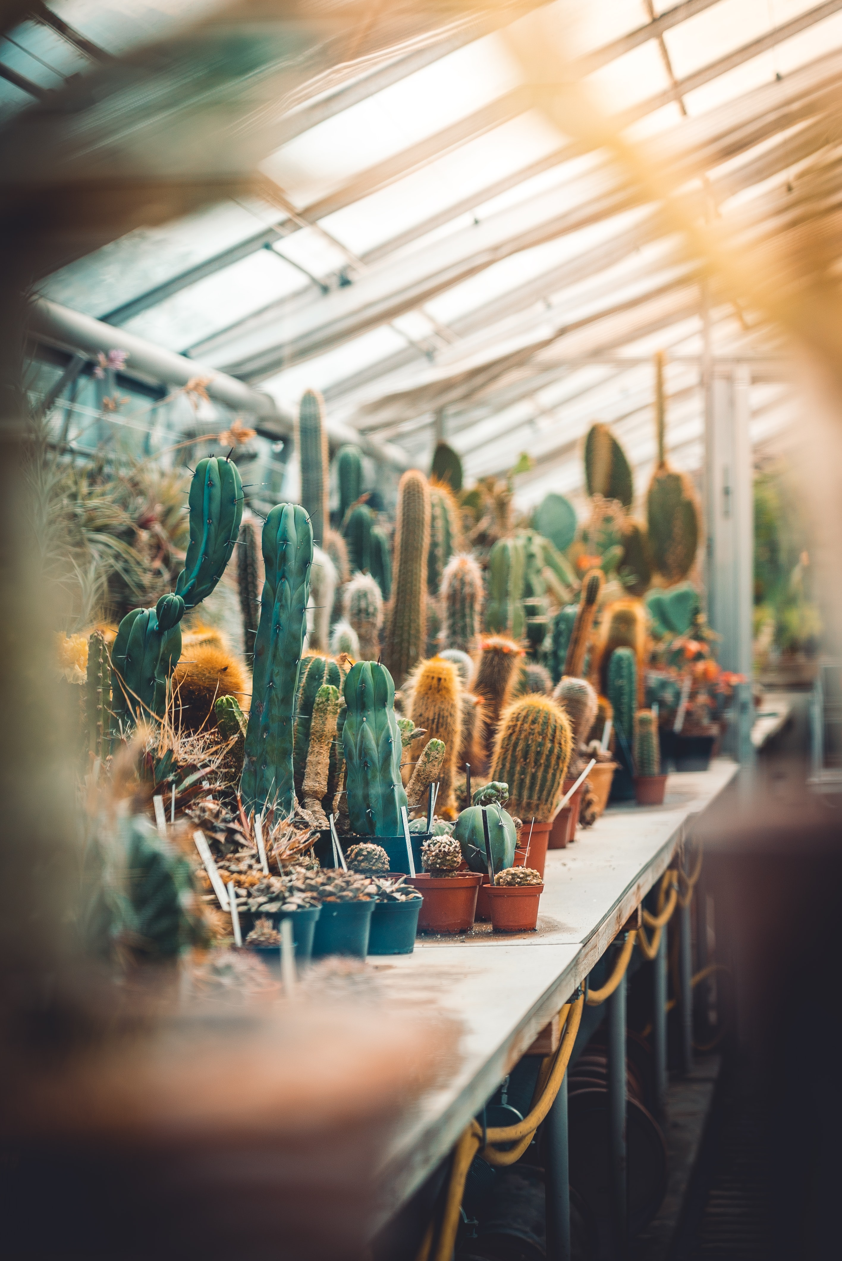 green cacti on table
