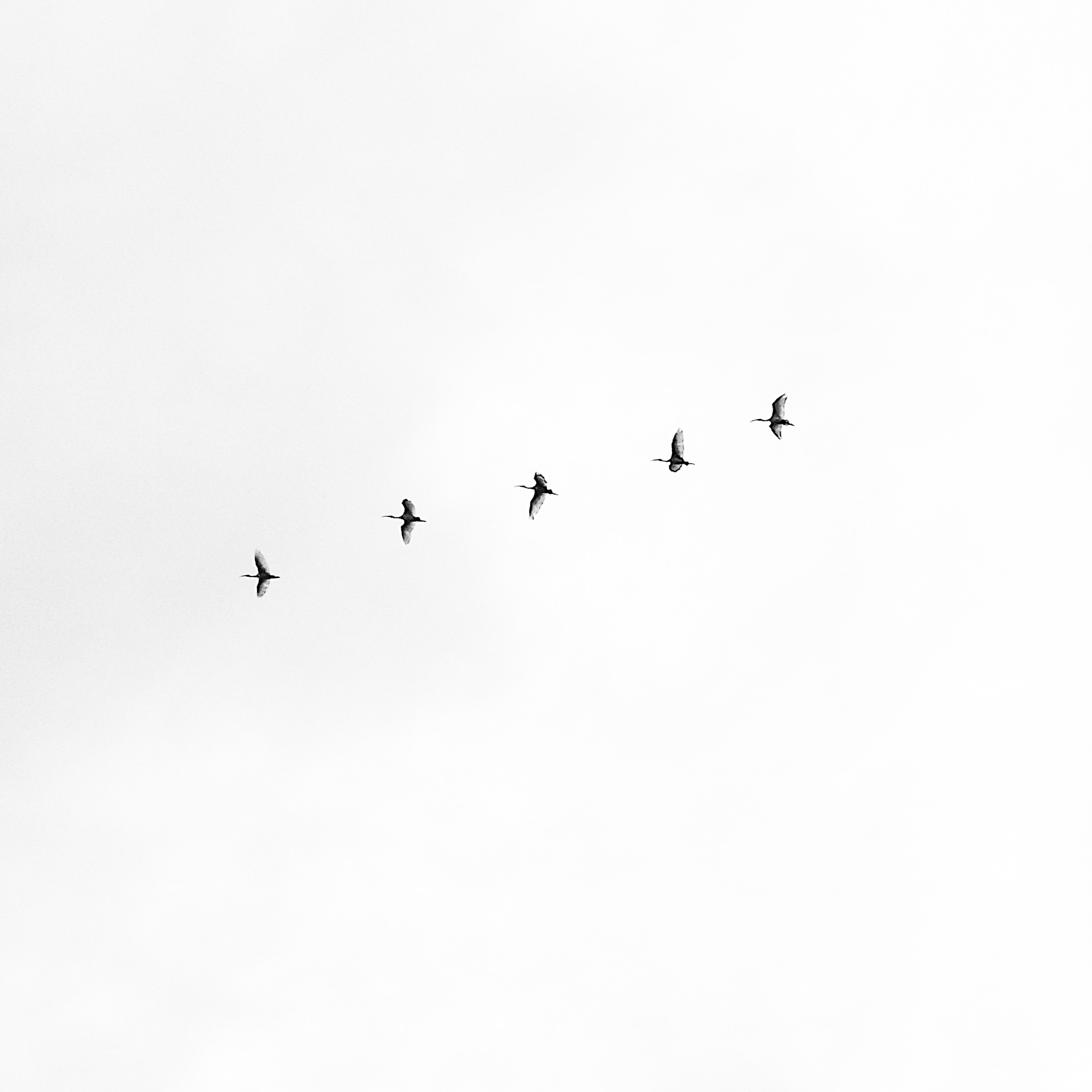 five black bird flying on sky