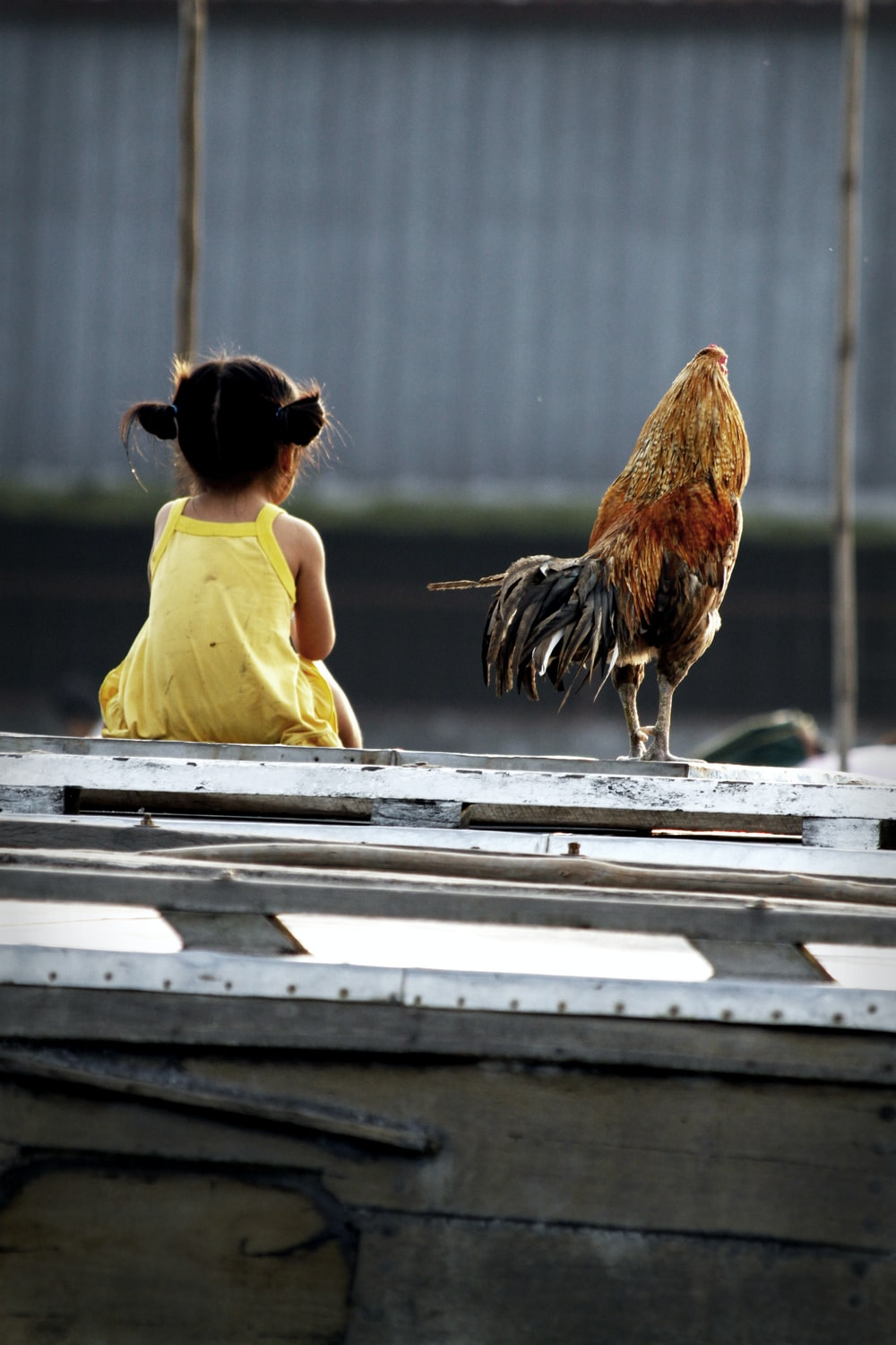 brown and black rooster beside child