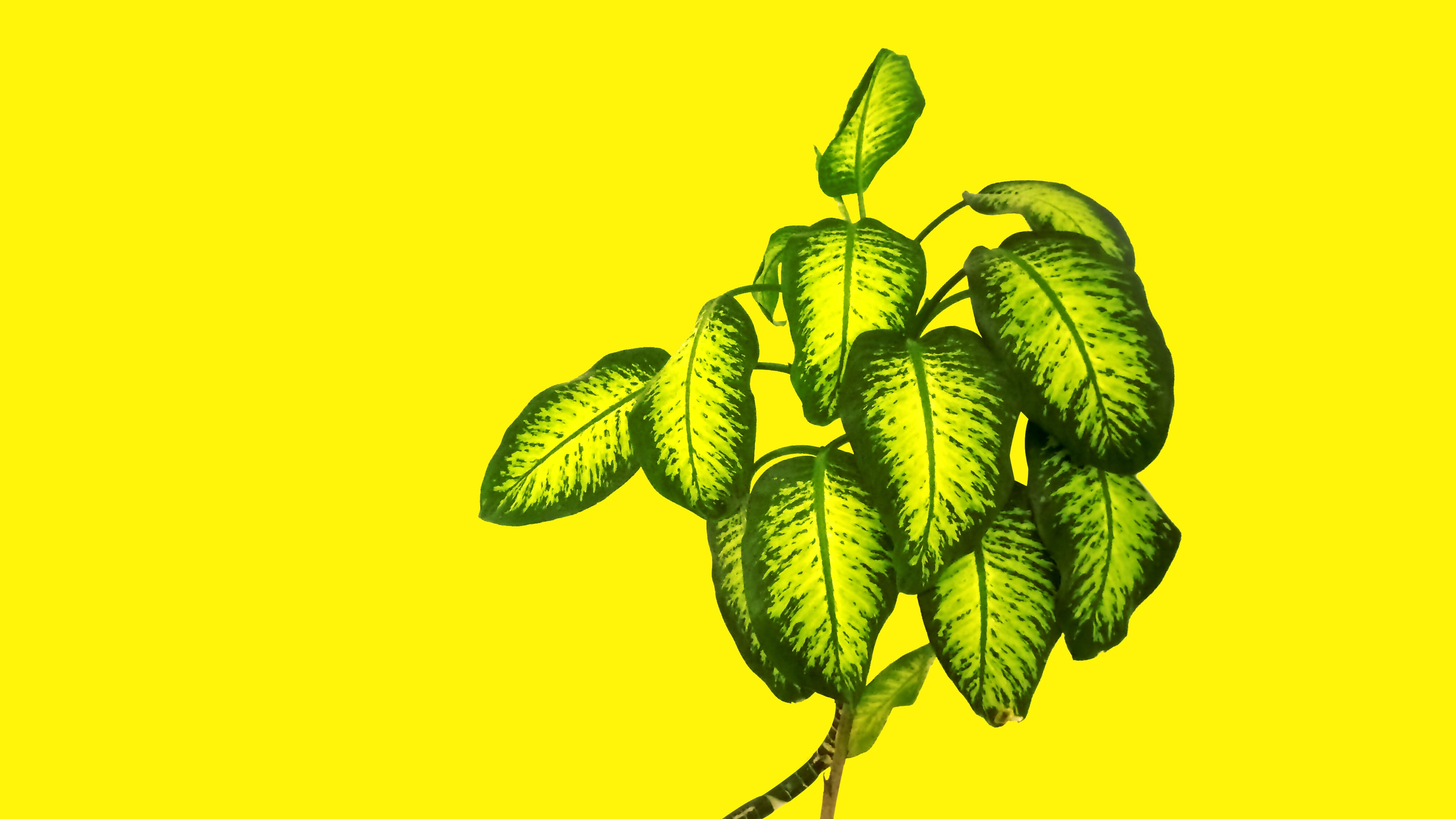 dumb cane plant on yellow background