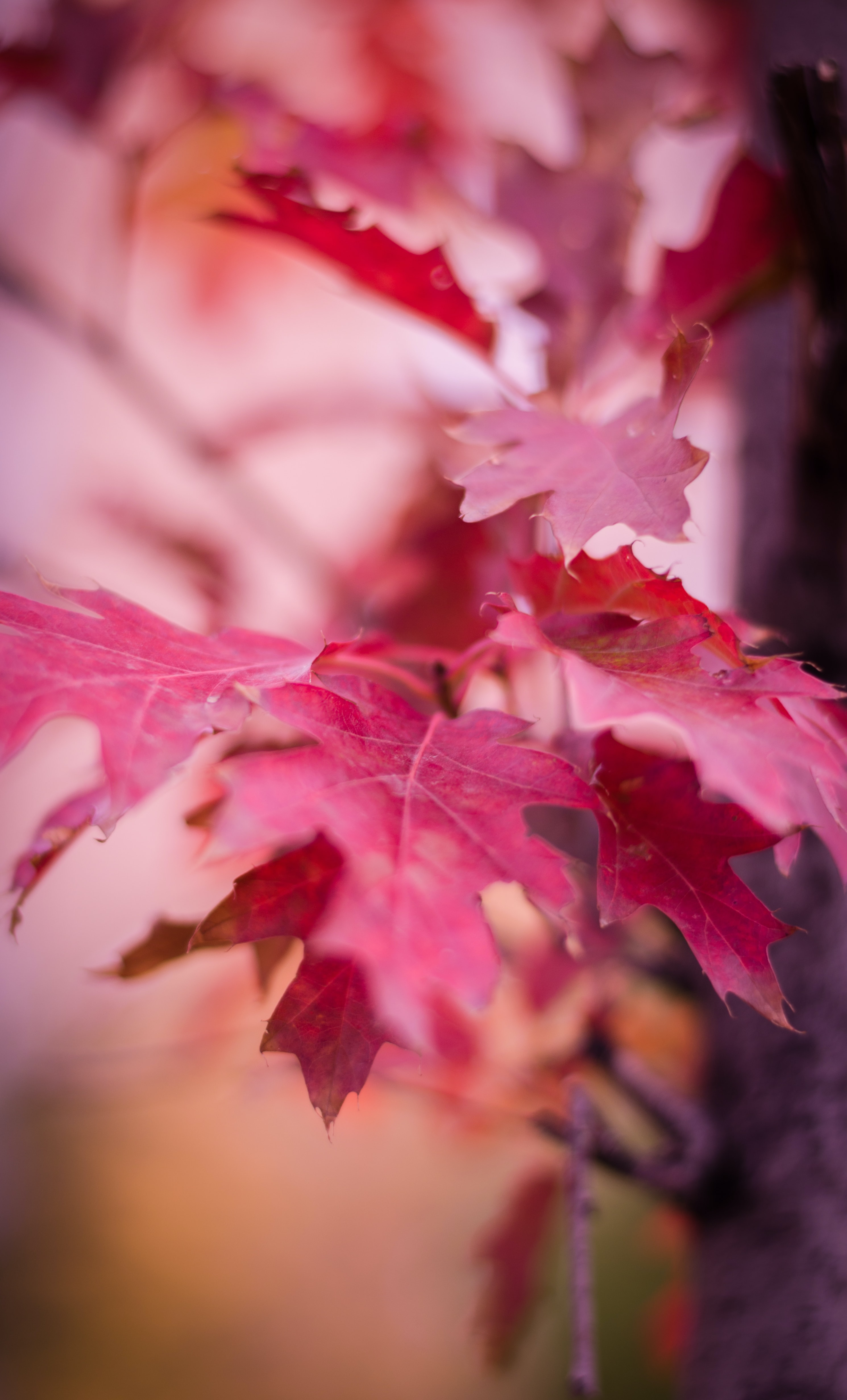 shallow focus photography of purple leaf