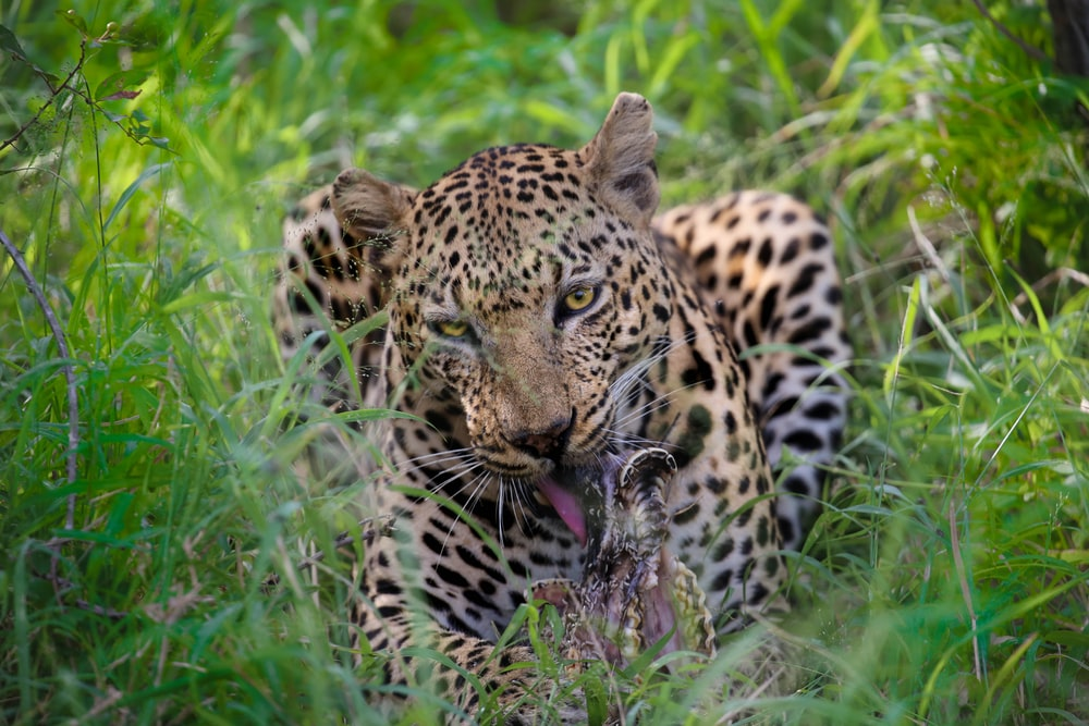 shallow focus photography of leopard on forest