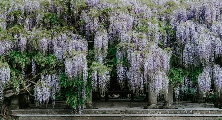 Wisteria - A Collection of Haikus