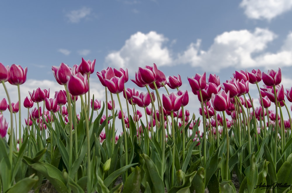 pink tulip flowers at daytime
