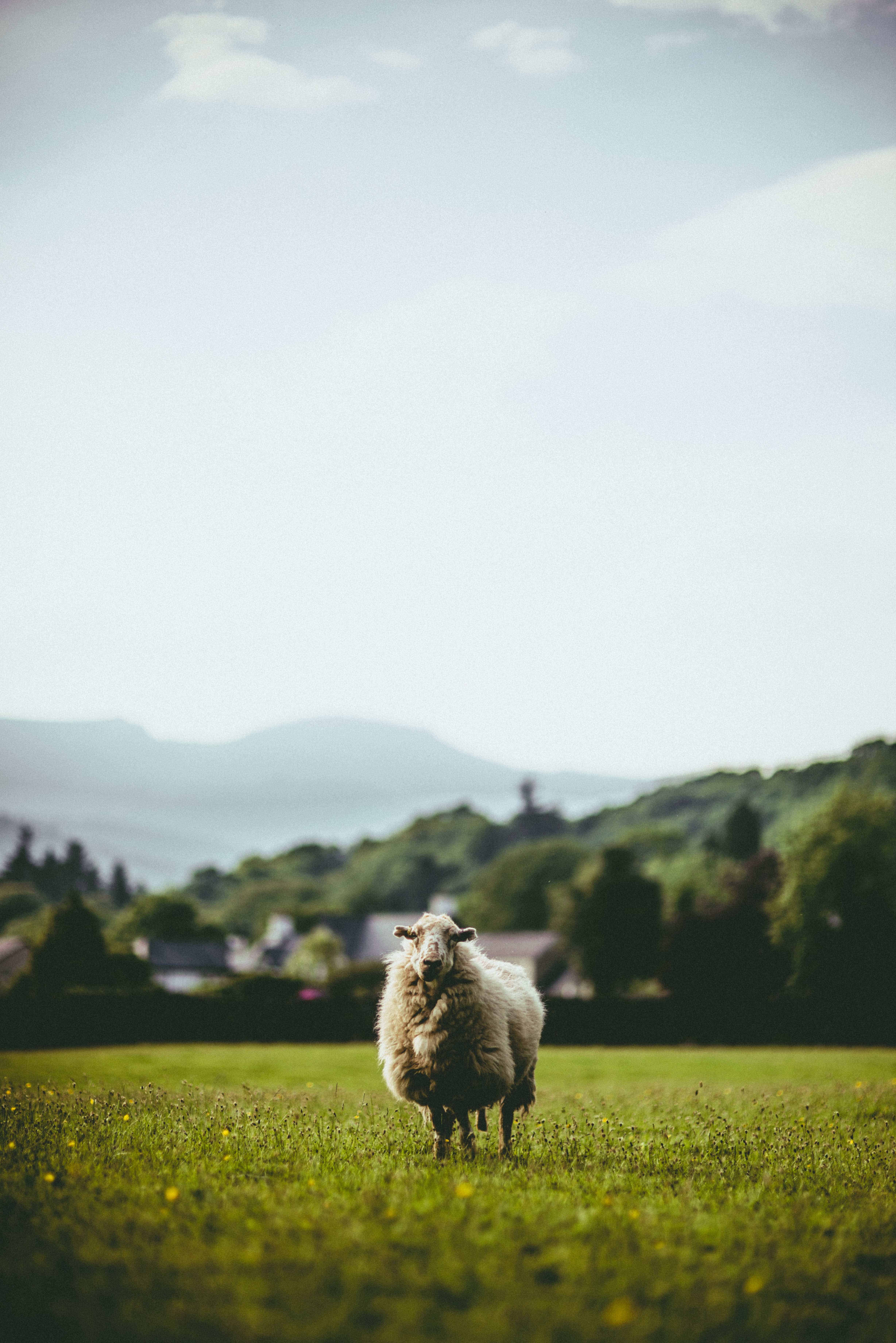 selective focus photography of white sheep on grass field