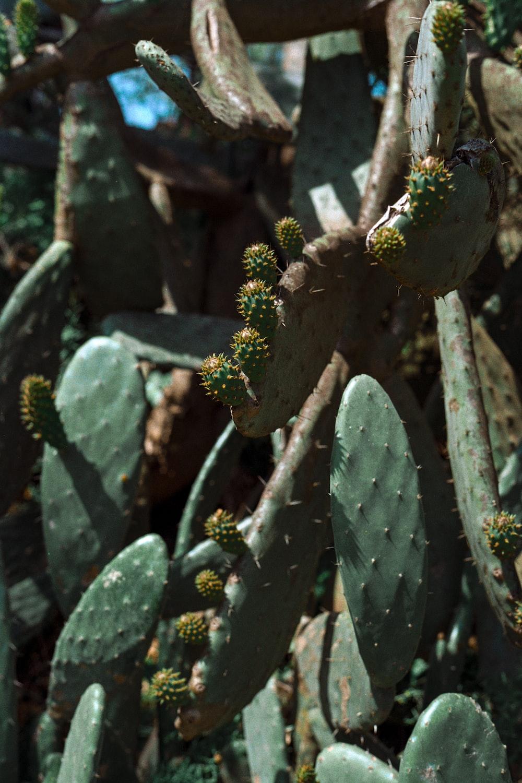 green cacti