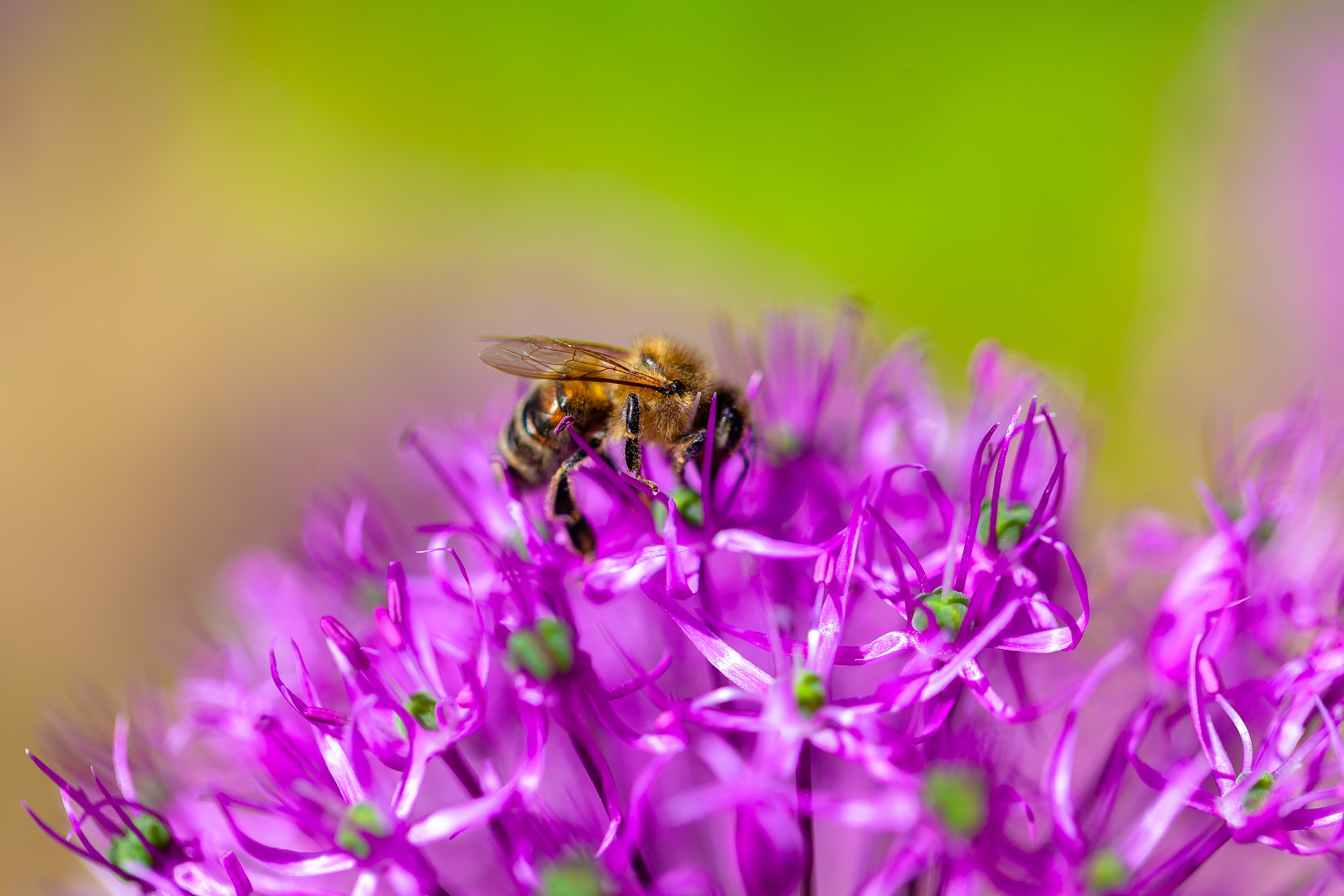 closeup photo of bee perched on pink flower