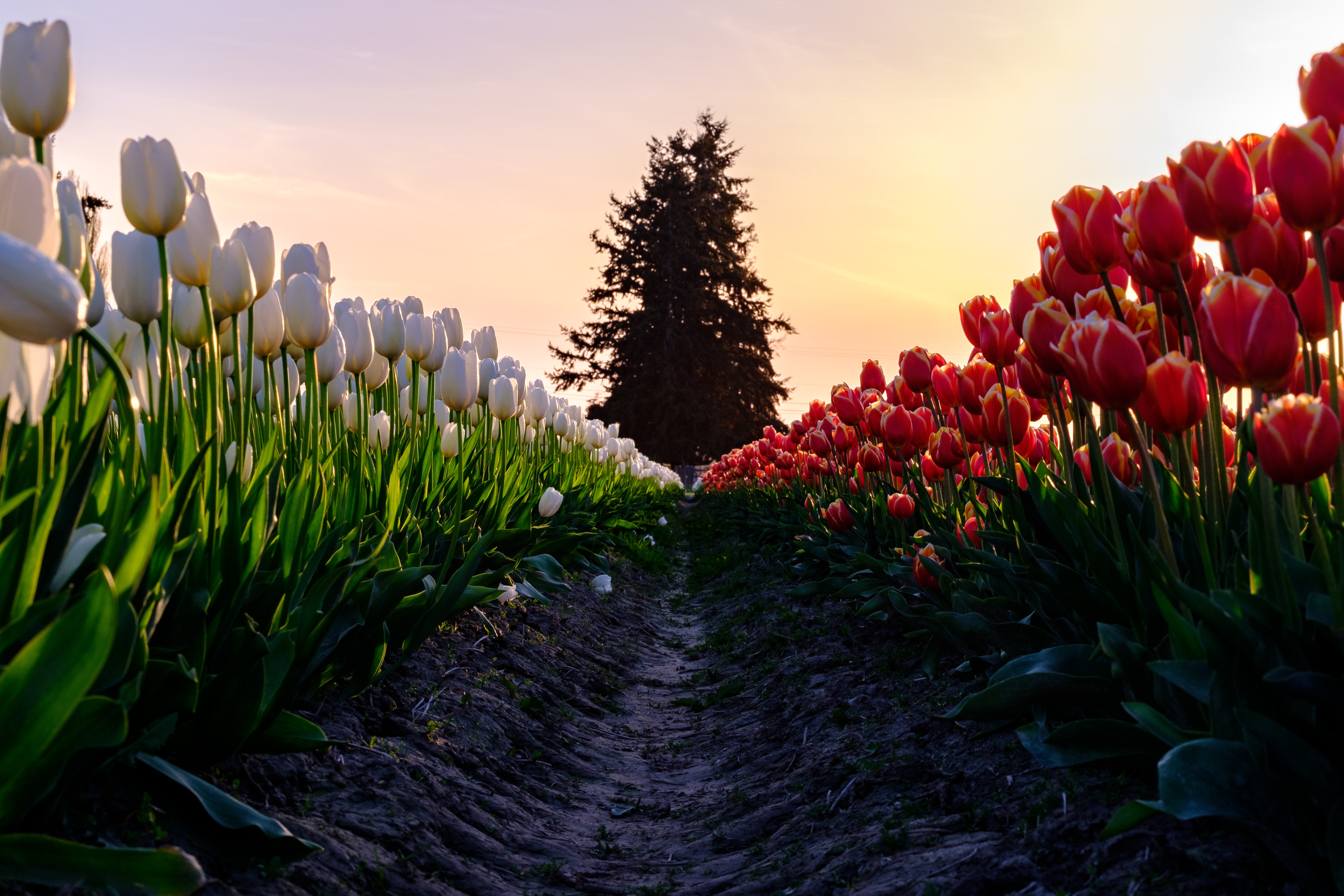 pathway between red and white flowers