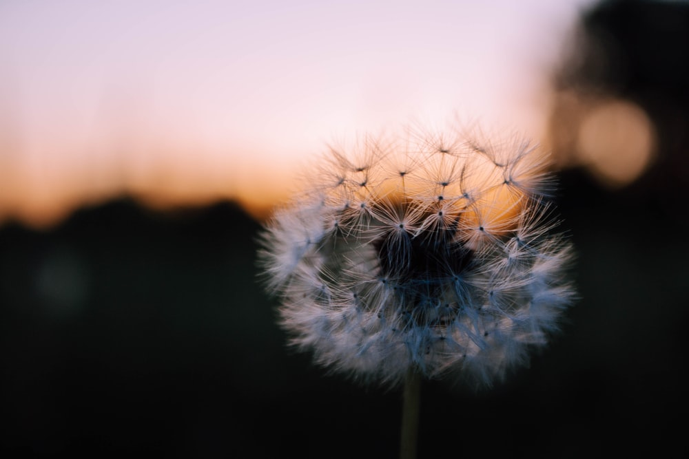 27 dandelion pictures download free images on unsplash