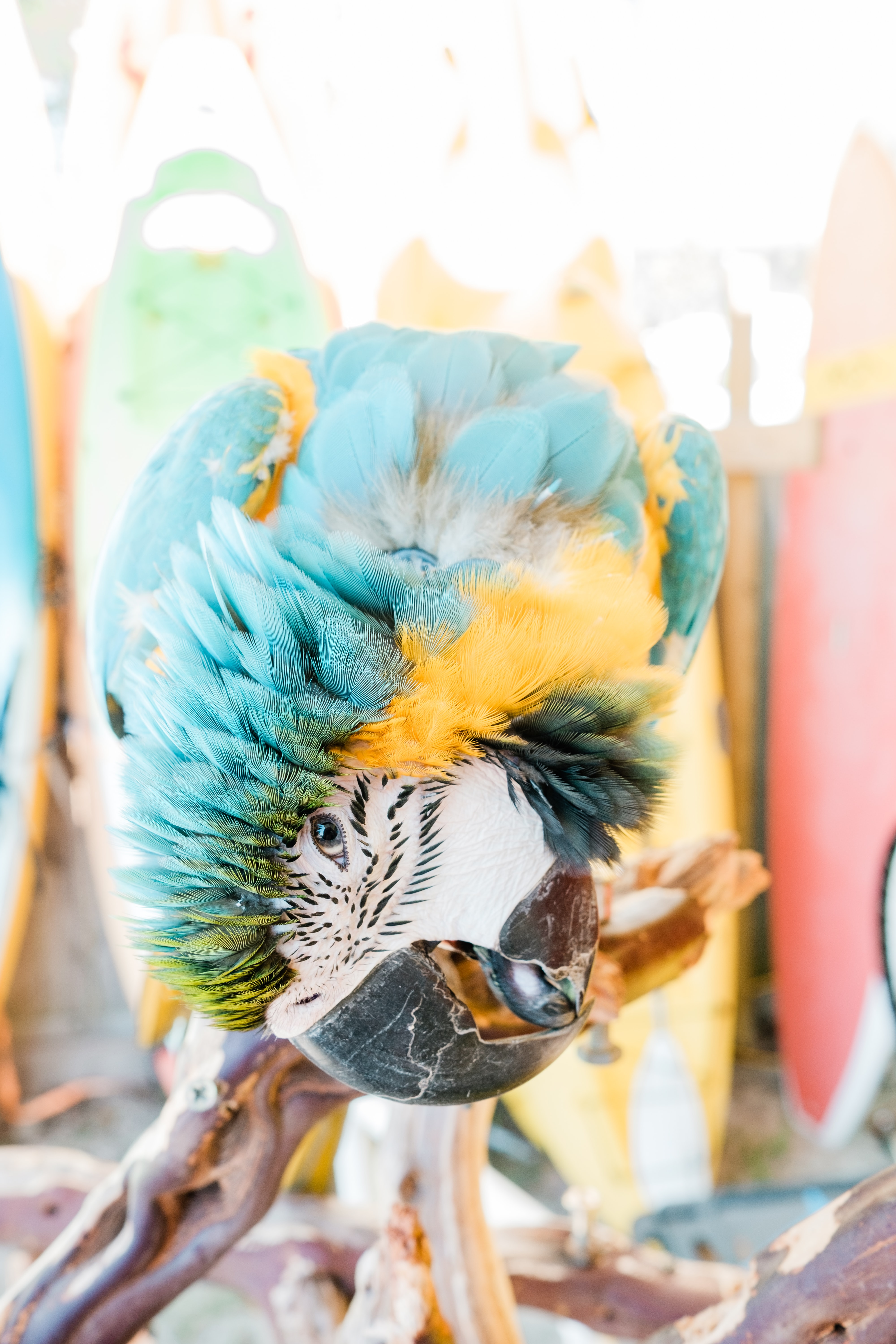 yellow-and-blue macaw
