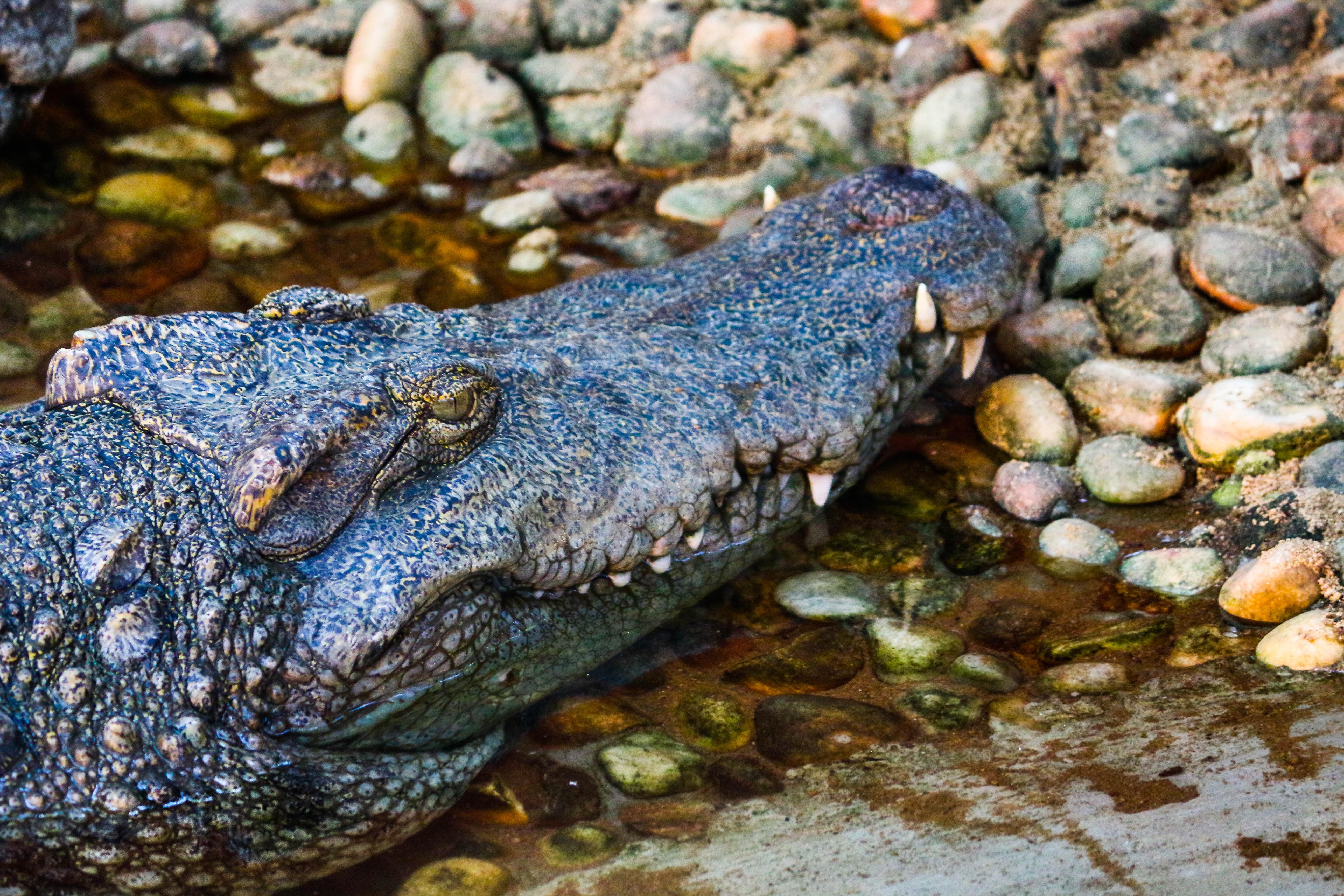 crocodile in body of water