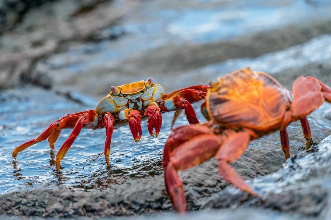 One of the highlights of a trip to the Galapagos Islands is to see these brightly coloured Sally Lightfoot crabs … apparently named after a Caribbean dancer.  They can jump from rock to rock as well which is interesting to watch … but these two were motionless - facing off against each other, determined not to move out of each others way.