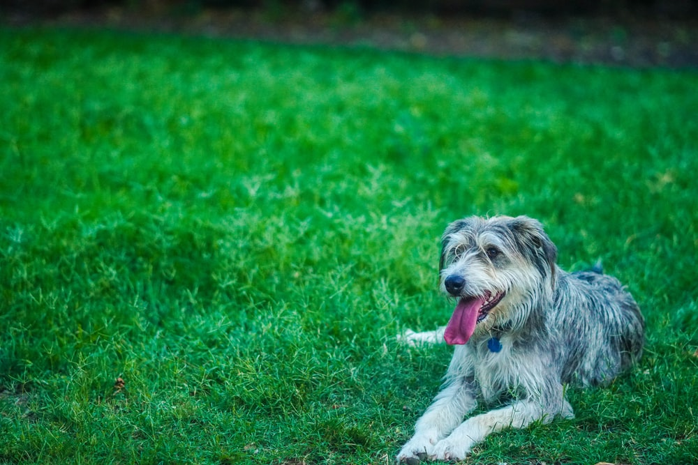 gray and black dog lying on green grass field