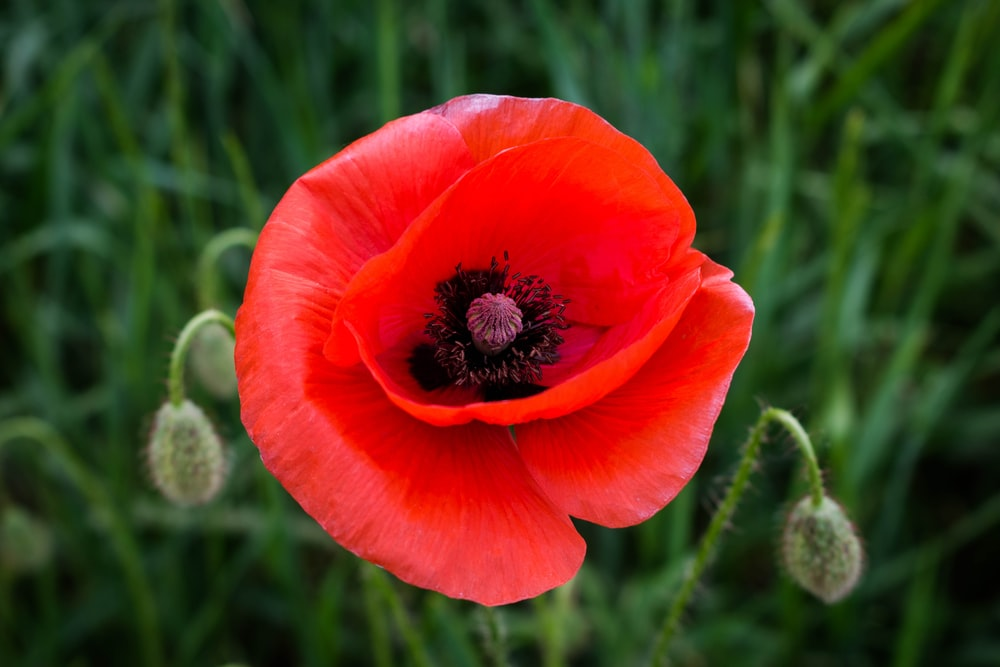 Poppy pictures download free images on unsplash shallow focus photography of red flower mightylinksfo
