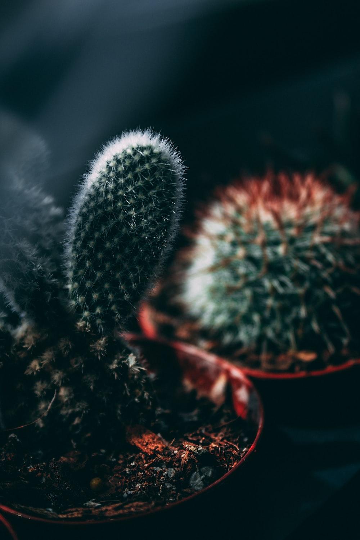 two cacti closeup photo