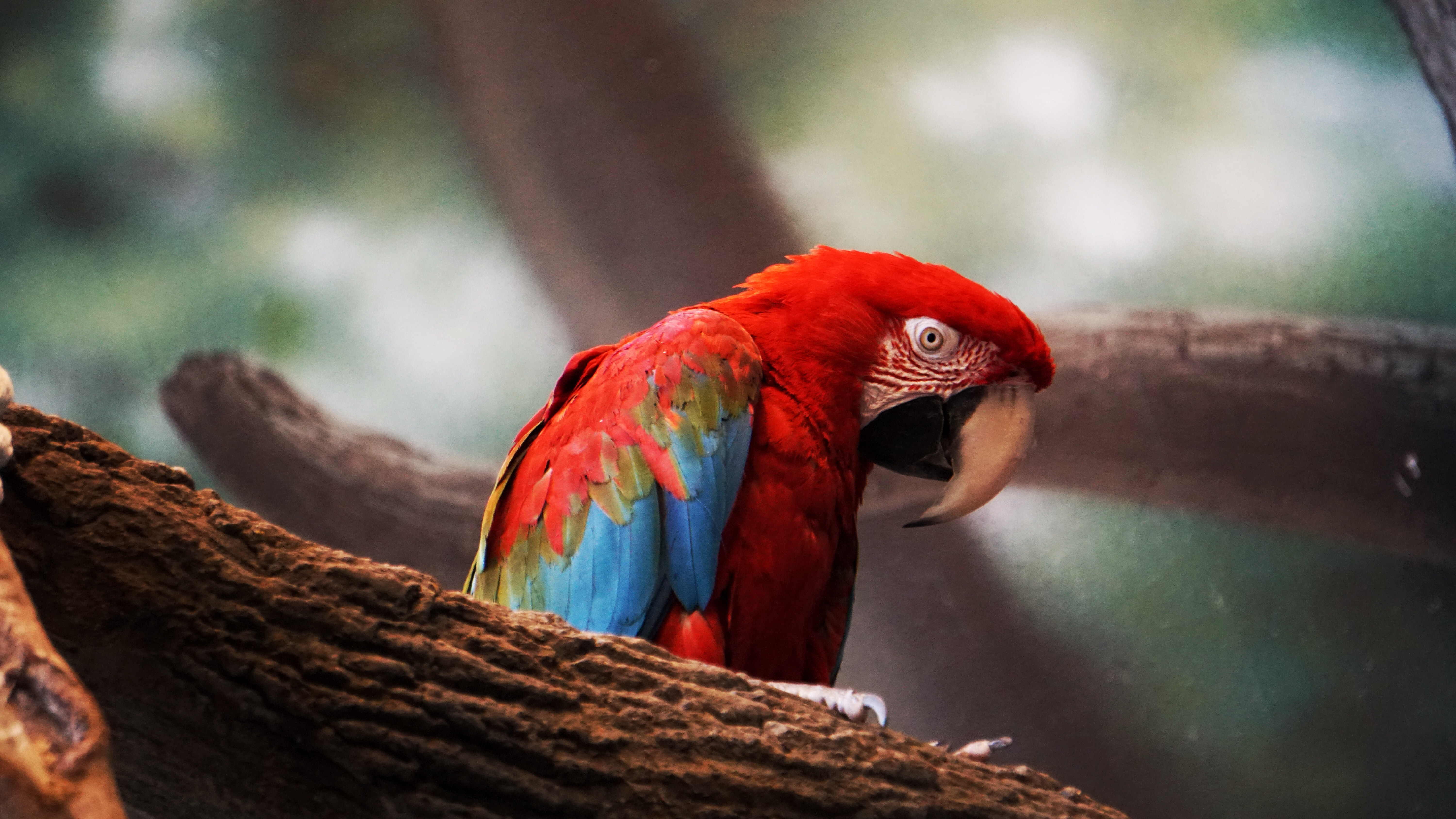 photo of red and blue bird person on brown tree branch
