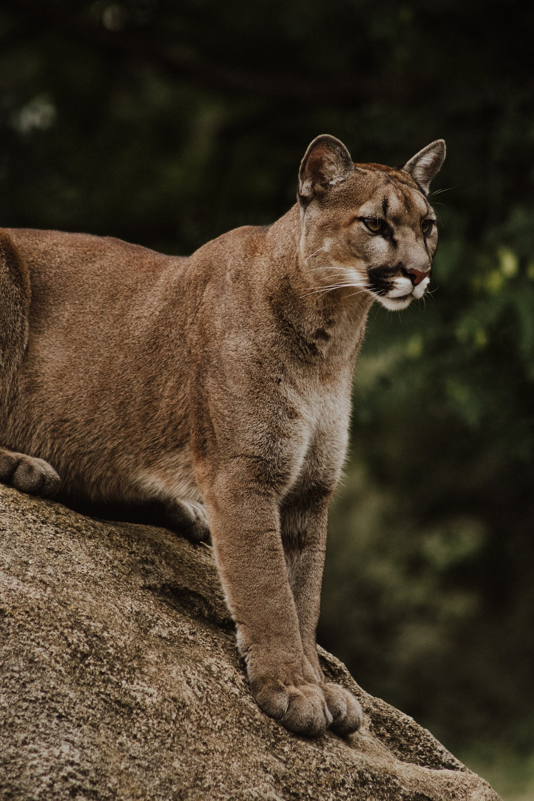 Cougar Pictures [HD]   Download Free Images on Unsplash