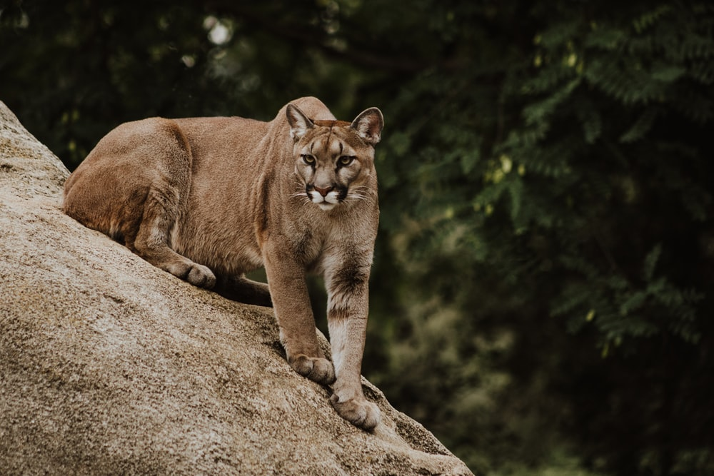 cougar on brown rock formation