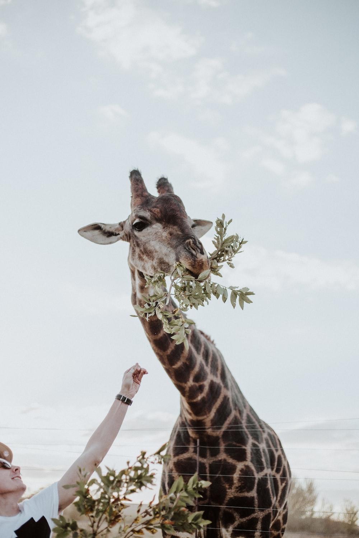 giraffe eating plants