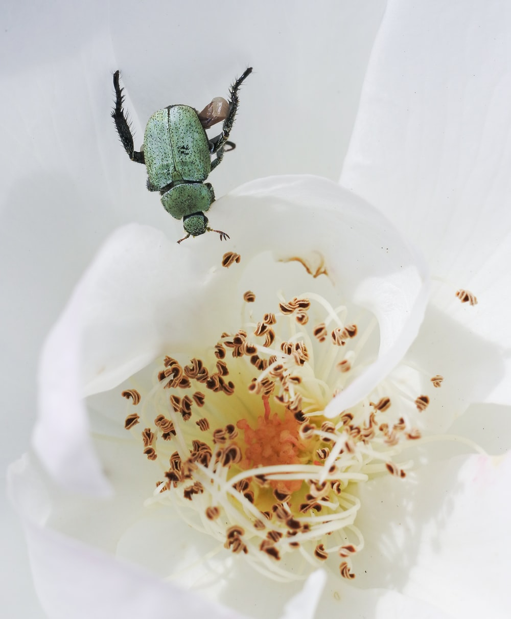 close up photo of white broad petaled flower with green bug