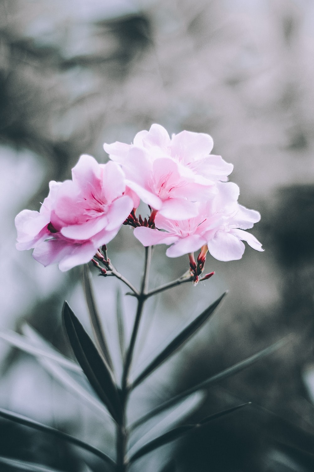 selective focus photo of pink broad petaled flowers