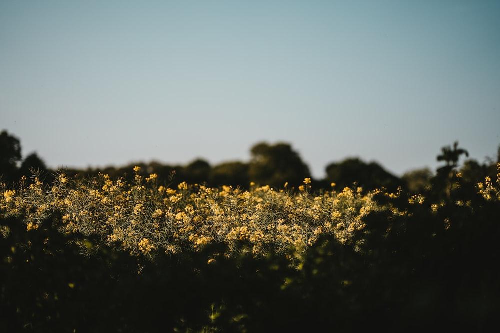 yellow petaled flower field under blue sky