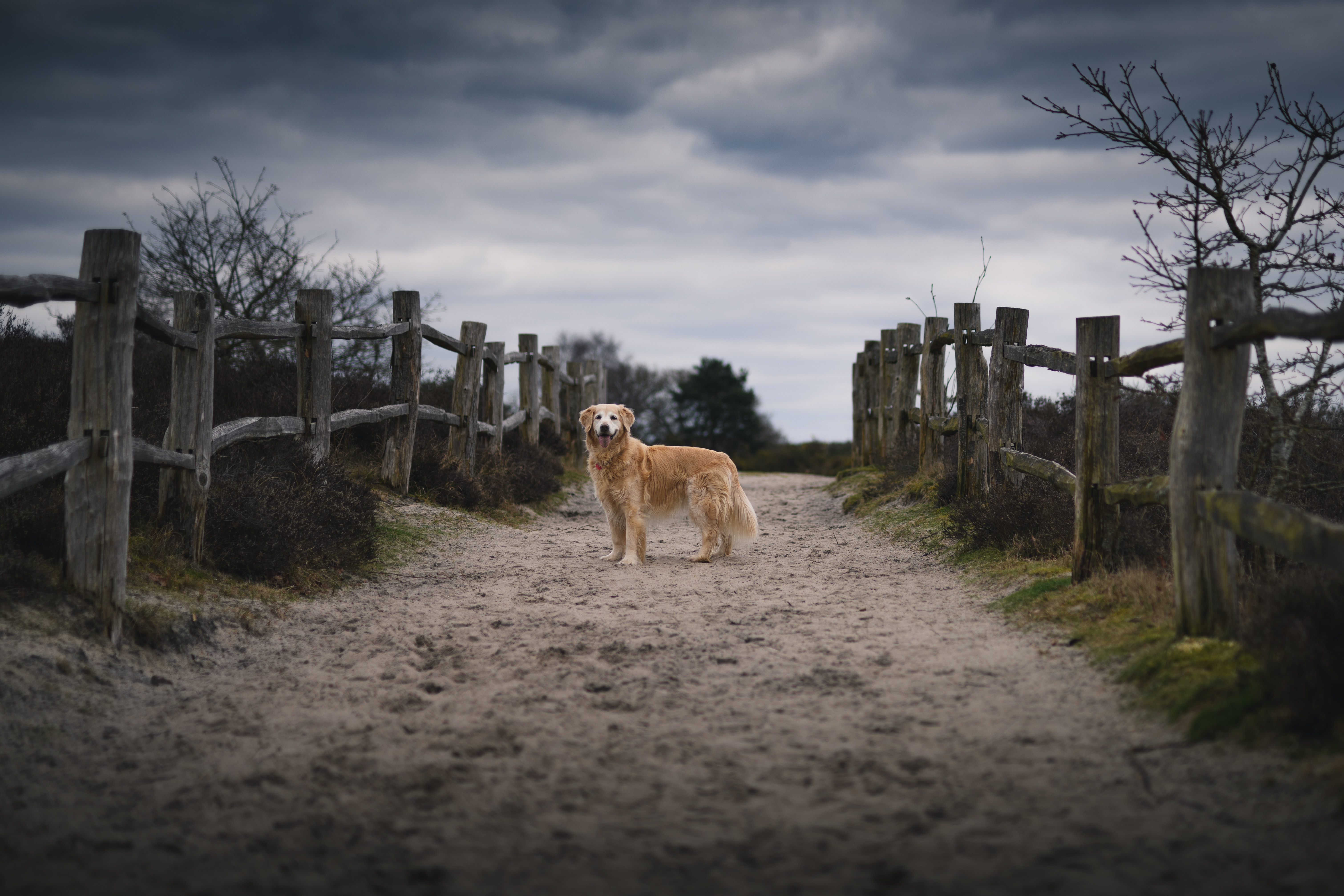 dog standing between wooden fence under dark cloudy sky