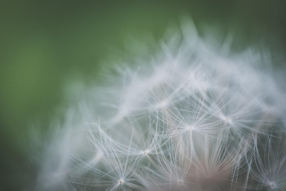 macro photography of dandelion