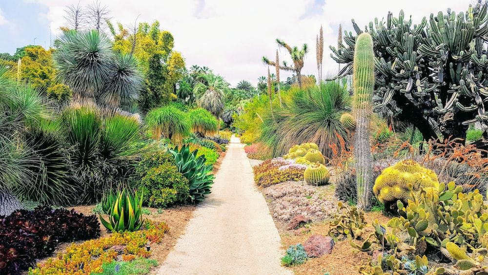 pathway beside cactus plants