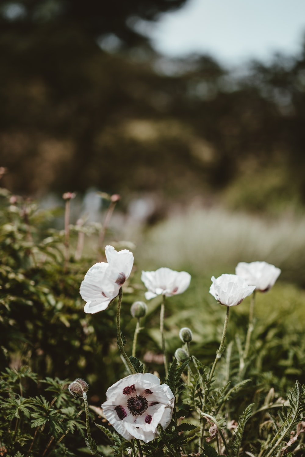 White poppy pictures download free images on unsplash closeup photography of white clustered petal flowers mightylinksfo