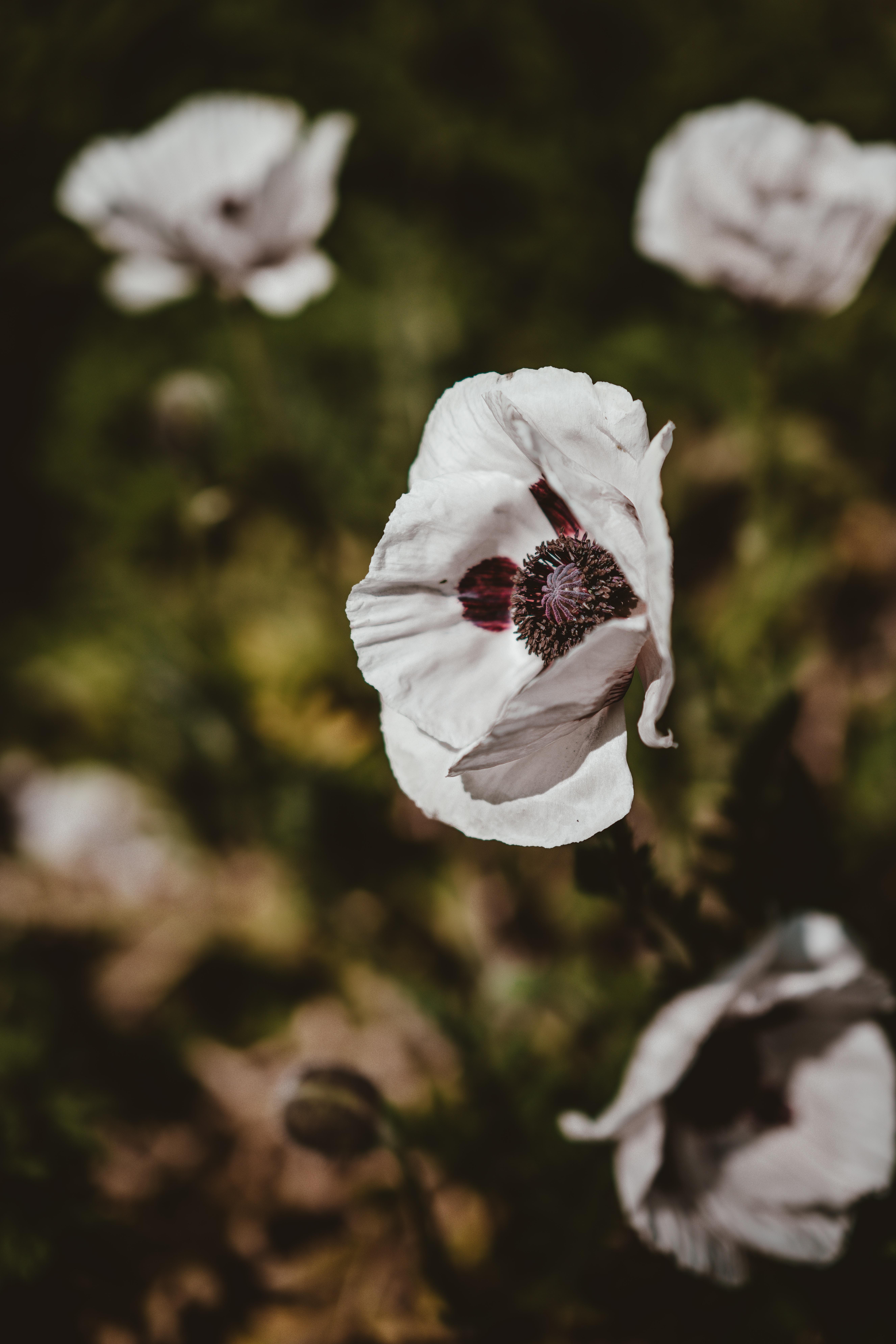 selective focus photo of anemone flower
