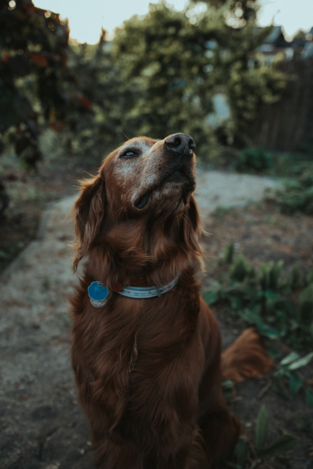 long-coated brown dog standing on ground
